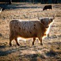 cattle-918627_1280