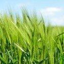 barley-872000__180