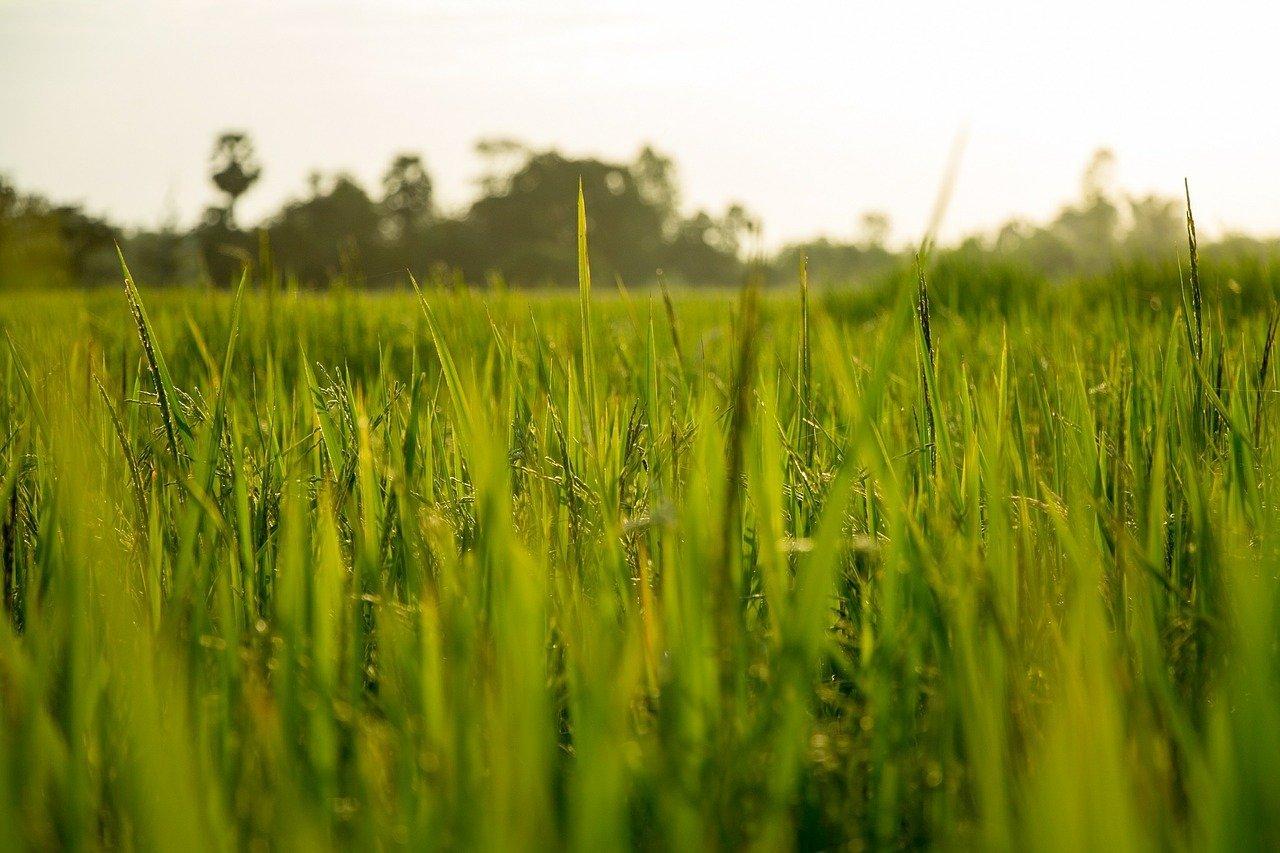 rice-560050_1280