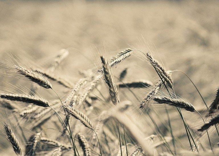wheat-923012_1280