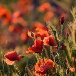red-poppy-4247574_1920