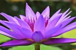 water-lily-1585178_1920